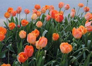 orangetulips2